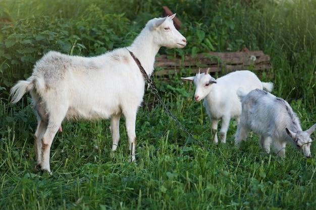 ヤギは緑の牧草地に放牧されています