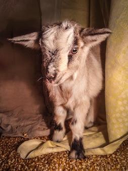 納屋の中の白いヤギ。農場の飼いヤギ