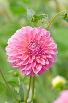 Розовый цветок георгин