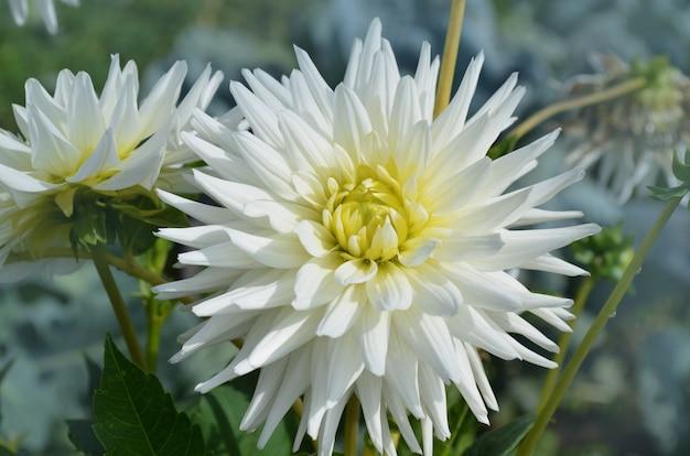 ダリアサボテンの花の庭をクローズアップ