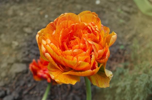 デュオダブルオレンジ春チューリップの束