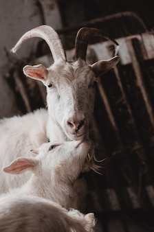 飼い葉桶に国内ヤギとかわいい赤ちゃんヤギ、納屋に大人と若いヤギ