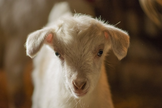 木の避難所、好奇心が強い白いヤギに立っている小さなヤギ