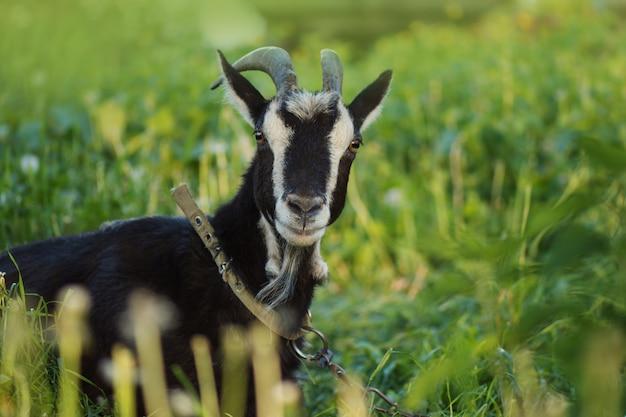 黒いヤギ、黒いヤギの草の餌の肖像画