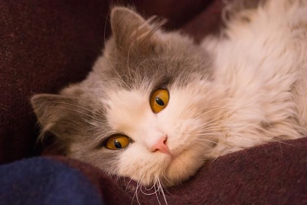 グレーと白の美しい猫。