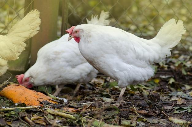 バイオファームの農場の放し飼いの鶏