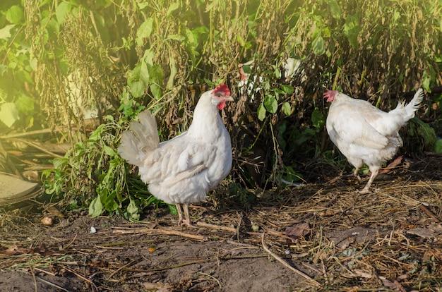 泥の中の白い鶏