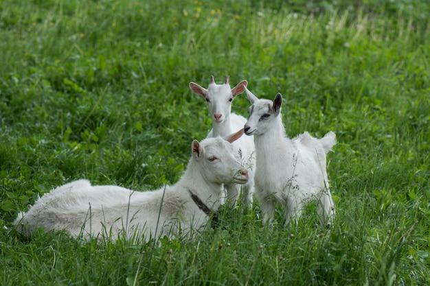 ヤギは緑の牧草地で放牧されています