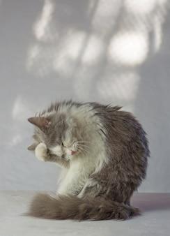灰色の猫は彼の顔に足を持っています