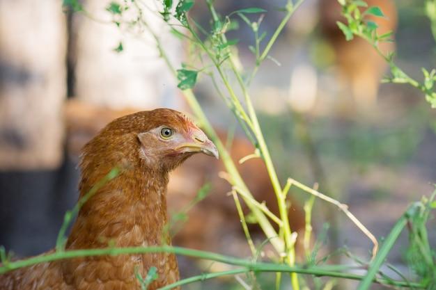 春の牧草地で茶色の鶏の頭のクローズアップ