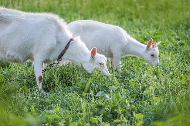 ヤギとヤギの子供の農場のヤギの群れ。
