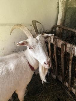 納屋の空き地でポーズをとるヤギ