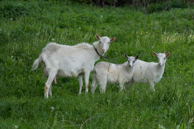 緑の草に対する家族のヤギ。家畜の牧草地。