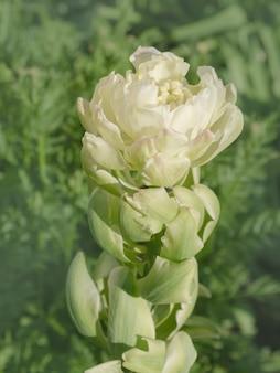 Виридифлора зеленые тюльпаны. зеленый тюльпан бруклин