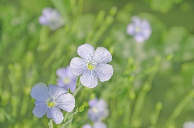 ライナムペレン(多年生亜麻)。亜麻の青い花