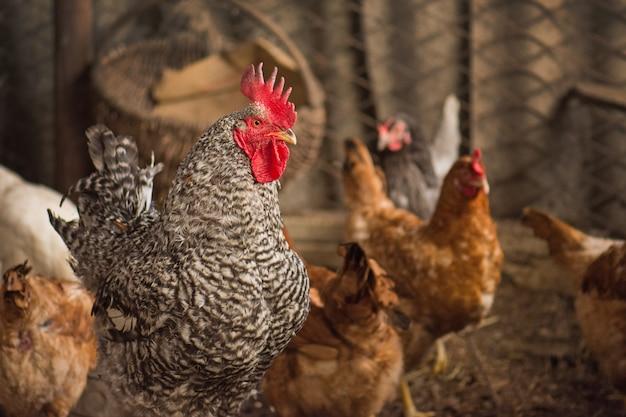 晴れた日に農場で鶏