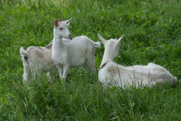 山羊の子供と山羊。家族のヤギは緑の牧草地に放牧されています。村の母ヤギと赤ちゃん。田舎で歩く山羊の群れ