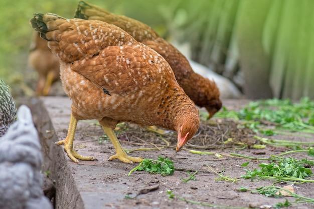 新鮮な草でポーズをとる鶏。鶏の給餌時間。給餌時の放し飼いの茶色の鶏