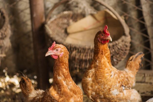 Куры в курятнике. куры в био ферме. цыпленок в курятнике. цыплята на ферме в солнечный день