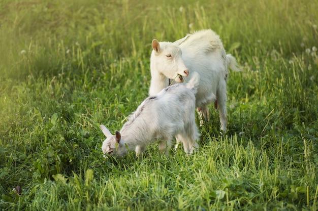 赤ちゃんヤギとヤギのグループ。庭の村の家の地元の家族のヤギ。緑の芝生の中に立っているヤギ。晴れた春の日。ヤギとヤギの子供