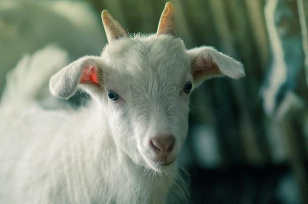 ファーム内の国内ヤギ。木製の避難所に納屋に立っている小さなヤギ