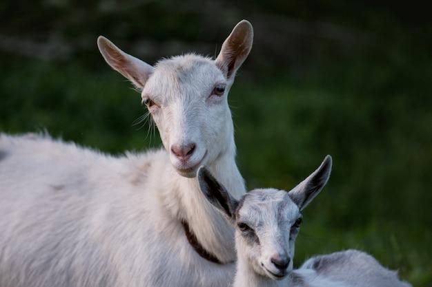 家族農場のヤギ。遊ぶヤギの群れ。緑の牧草地に家族のヤギ。山羊の群れ
