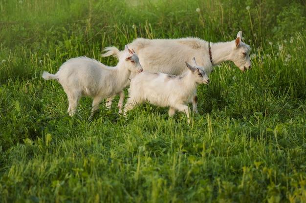 農場のヤギの群れ。子供と白いヤギ