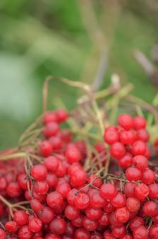 赤いガマズミ属の枝