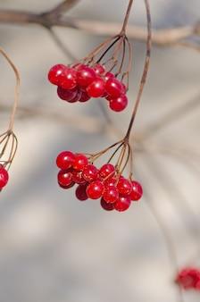 赤いガマズミ属の果実