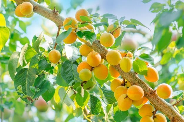 有機アンズの木の枝に太陽の光