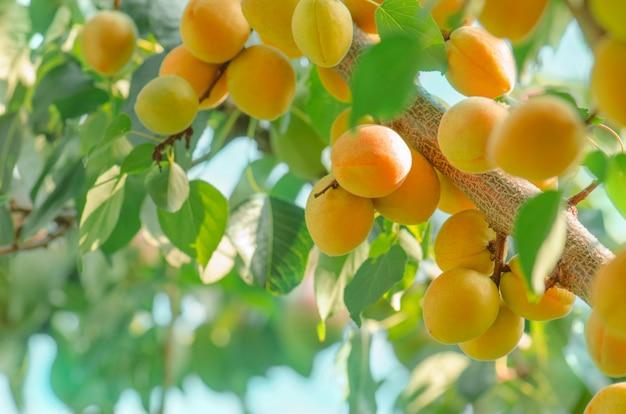 熟したフルーツとアプリコットの木の枝