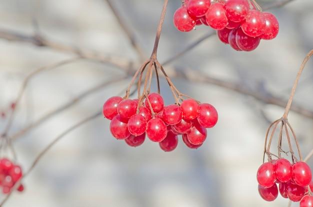 赤いタッセルグエルダーが上昇しました。ウクライナのシンボルガマズミ属の木