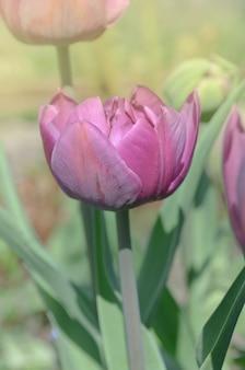 紫色の二重のカラフルな美しいチューリップ。チューリップパープルピオニー