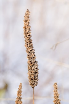 アガスタ虫の種