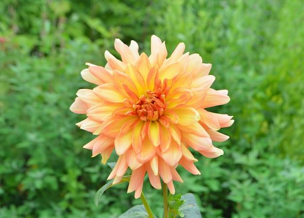 美しいオレンジ色のダリア