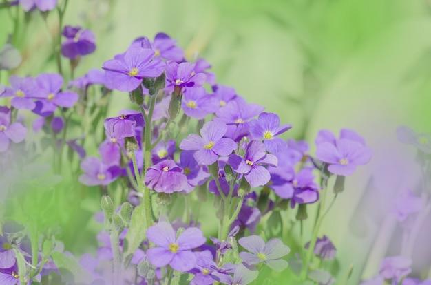 紫色のオーブリエタの花。庭の紫色の春の花