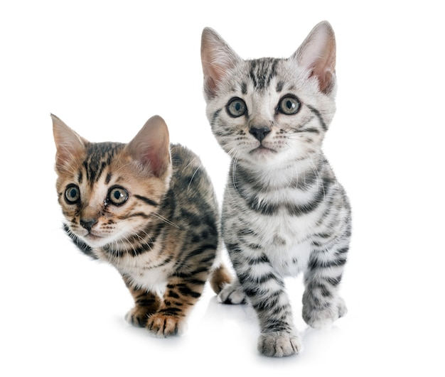 分離されたベンガル子猫