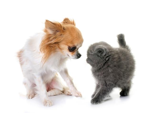子猫エキゾチックなショートヘアとチワワ