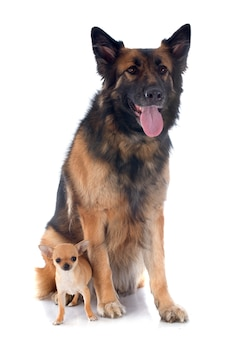 子犬チワワとドイツの羊飼い