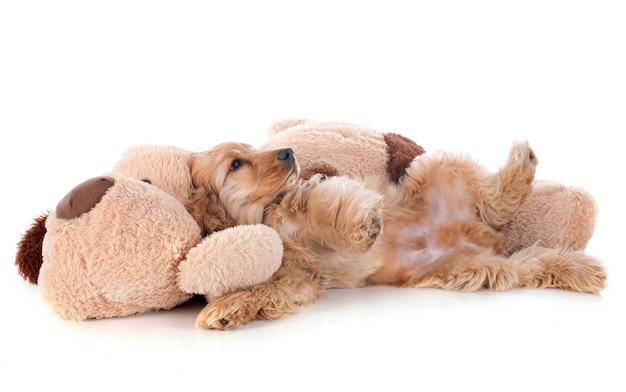 子犬コッカースパニエルとおもちゃ