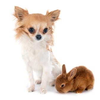 若いウサギとチワワ