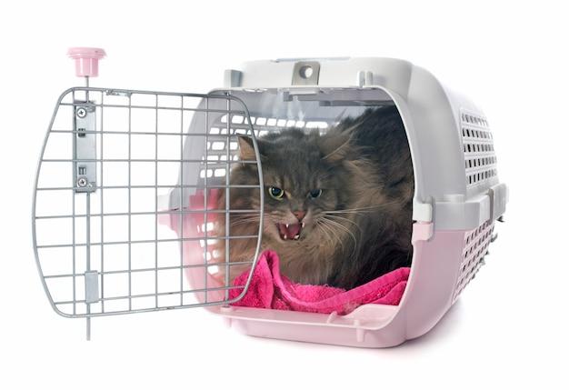 怒っているペルシャ猫