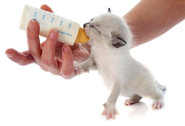 シャム子猫の餌やり