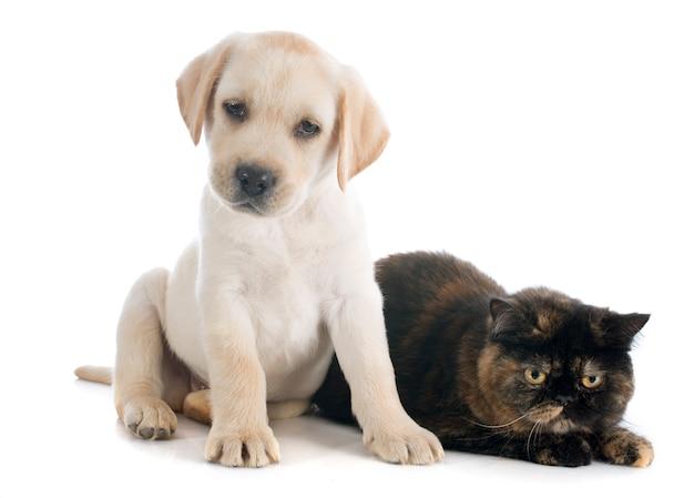 エキゾチックなショートヘアの猫と子犬