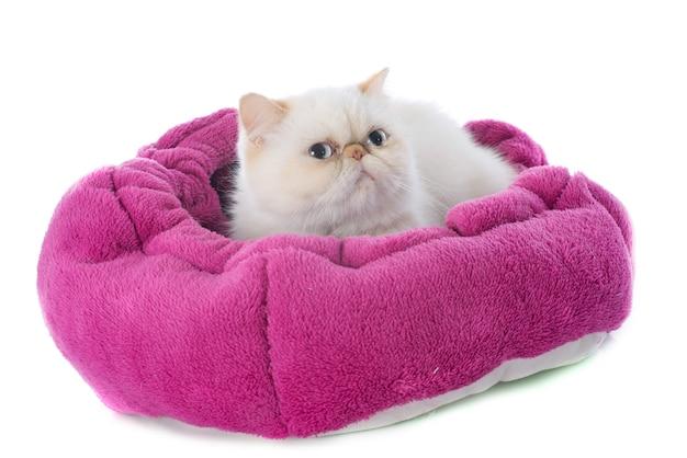 エキゾチックなショートヘアの猫