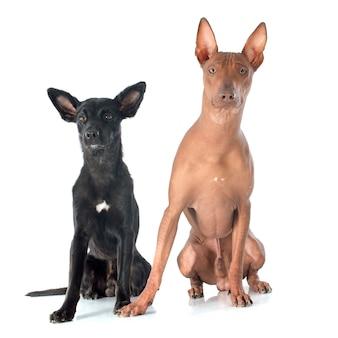 ペルーの犬