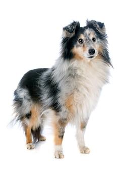 シェトランド犬