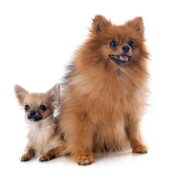 子犬チワワとスピッツ