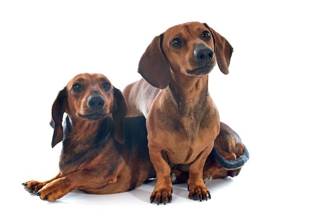 ダックスフント犬