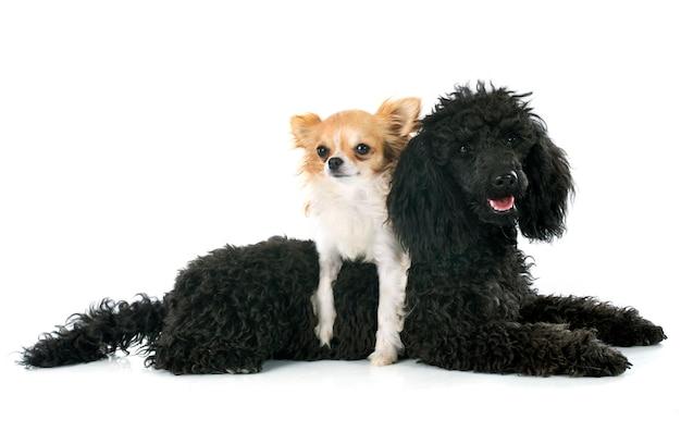 子犬のプードルとチワワ